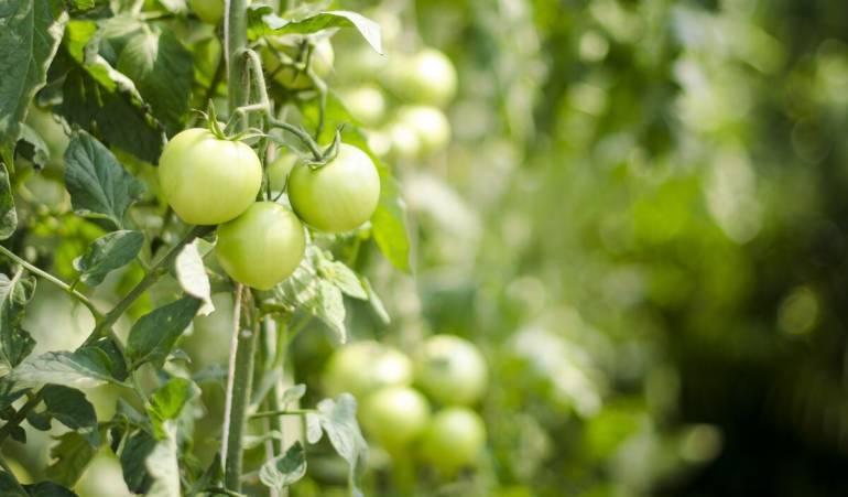 Acheter des plants ou semer ses propres tomates ?